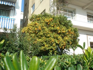 Photo of a tangerine tree