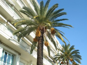 A photo of a date palm